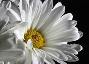 daisy-321217_1280