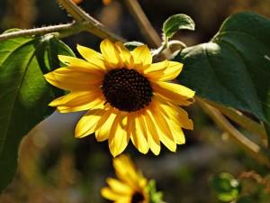 sunflower-62049_1280