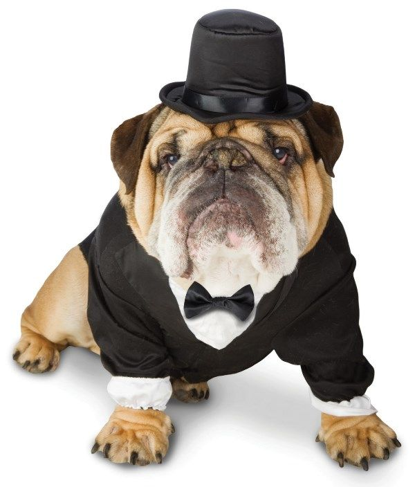 Dog Costumes for Your Wedding-bulldog tux